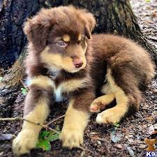 australian shepherd not eating best 20 red australian shepherd ideas on pinterest u2014no signup
