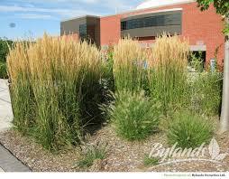 foerster s feather reed grass calamagrostis x acutiflora karl