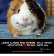 Guinea Pig Meme - a guinea pig named randy broke into a female enclosure and