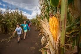 Denver Botanic Gardens Corn Maze Roxborough Living Chatfield Farms Corn Maze Pumpkin Festival