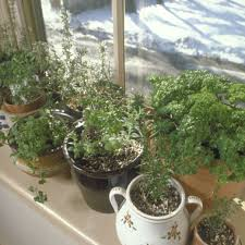 herbs indoors tips for growing herbs indoors cultivate colorado