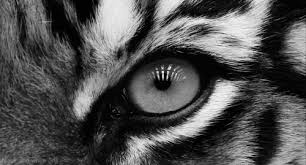 eye of the tiger gifs get the best gif on giphy