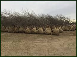 tree delivery balled and burlapped grown tree farm