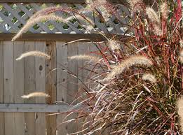 ornamental grasses of florida institute of food and