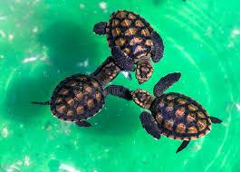 imagenes tortugas verdes tortugas verdes del bebé foto de archivo imagen de poco 53602068