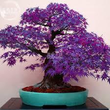 bellfarm purple ghost japanese maple ornamental tree seeds 20