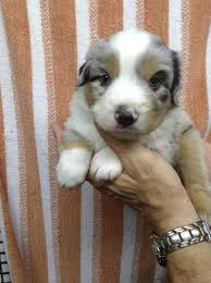 mini australian shepherd 8 weeks 8 best images about mini aussie on pinterest nap times