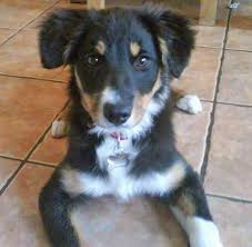 australian shepherd x rottweiler skye the border collie dogs daily puppy