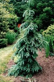 weeping white spruce craig these maybe in front landscape