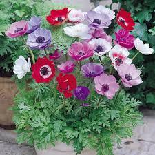 anemone plant anemone de caen 7cm up parkers wholesale