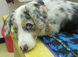 australian shepherd e gatto modpawed hand stamped pet id tags such beautiful eyes this