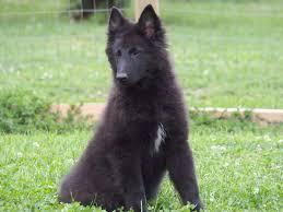 belgian sheepdog for adoption belgian sheepdog groenendael breeder vom hundhaus german