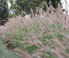 purple lea has showy purple flowers ornamental grass