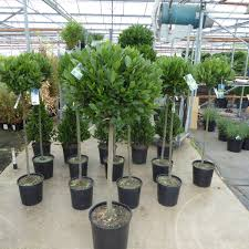 Bay Tree Topiary The Best Half Standard Bay Online Large Head Delivery By Pict Of