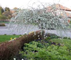 a silver cascading silhouette in a may garden leavesnbloom