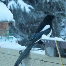 Magpie Birds In Backyards February 2017 U2013 Lynn Barber U0027s Alaska Big Year U2013 And Beyond