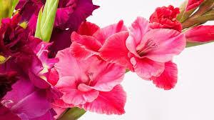 gladiolus flower most beautiful gladiolus flower you seen