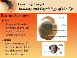 Eye Anatomy And Physiology Sheep U0027s Eye Dissection Inside U0026 Out Ppt Video Online Download