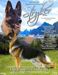 belgian shepherd dog club of canada canadian kennel club club canin canadien