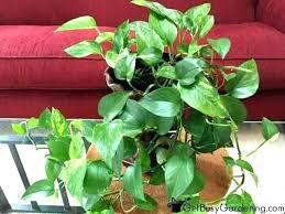 good low light plants best low light houseplants farms indoor plants low light arrowhead