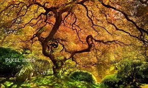 colorado u s japanese gardens japanese maple portland japanese garden solace pixel boss