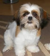shih poo haircuts 57 best shih poo grooming ideas images on pinterest cute dogs