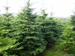 noble fir christmas trees christmas lights decoration