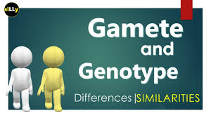 gamete vs genotype refers identity differences of gamete and