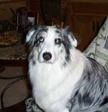 australian shepherd sheltie mix tell about the dog breed you own