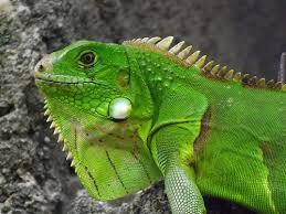 imágenes de iguanas verdes la iguana verde el blog de bichomanía