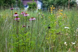 native minnesota plants better than lawn photobotanic