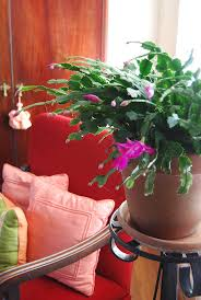 difference between thanksgiving and christmas 204 best christmas cactus images on pinterest christmas cactus