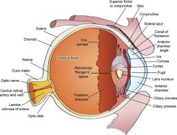Anatomy Of The Eye 26 Best The Eyes Have It Images On Pinterest Optometry