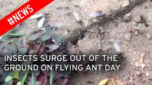 How To Get Rid Of Flies In The Backyard by Flying Ant Day 2017 When Is It What Is It And How To Get Rid Of