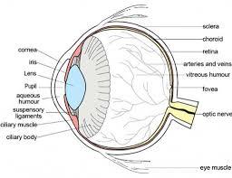 Human Anatomy Worksheet Eye Anatomy Worksheet Anatomy Of The Human Eye Human Anatomy