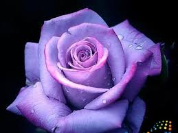 different color roses what color matches your personality playbuzz