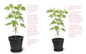 how much light do pot plants need medical marijuana topping technique to maximize harvests big buds