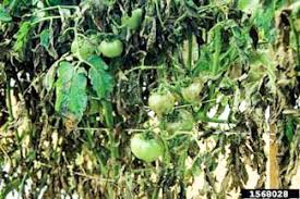 Diseases Of Tomato Plants - common plant diseases