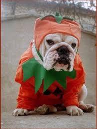 English Bulldog Halloween Costumes Baggy Bulldogs Bulldog Cuteness English Bulldogs