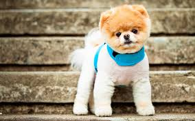 dog wallpapers boo dog wallpapers for free download 47 boo dog 100 quality hd