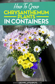 best 25 chrysanthemum plants ideas on pinterest insect