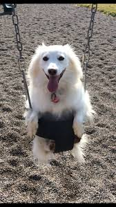 american eskimo dog edmonton woofa roo photo submissions u2013 volume 43 windsor star