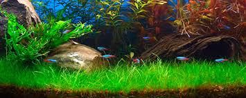Best Substrate For Aquascaping Create A Carpet In Your Planted Tank The Aquarium Guide