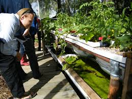 Backyard Shrimp Farming by 5 Great Fish Options For Your Backyard Aquaponics System