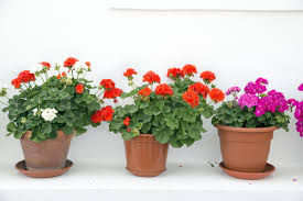 potted flowers how to keep your potted plants in shape all summer here by design
