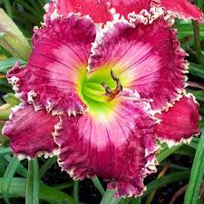 reblooming daylilies ruby clare mims reblooming daylily brecks