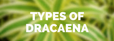 Tropical Plant Diseases - dracaena plant care growing planting cutting diseases pests