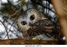 owl in a tree stock photos owl in a tree stock images alamy