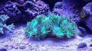 elegance unhappy elegance coral reef2reef saltwater and reef aquarium forum