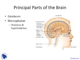 Anatomy And Physiology Of The Brain Brain And Meninges
